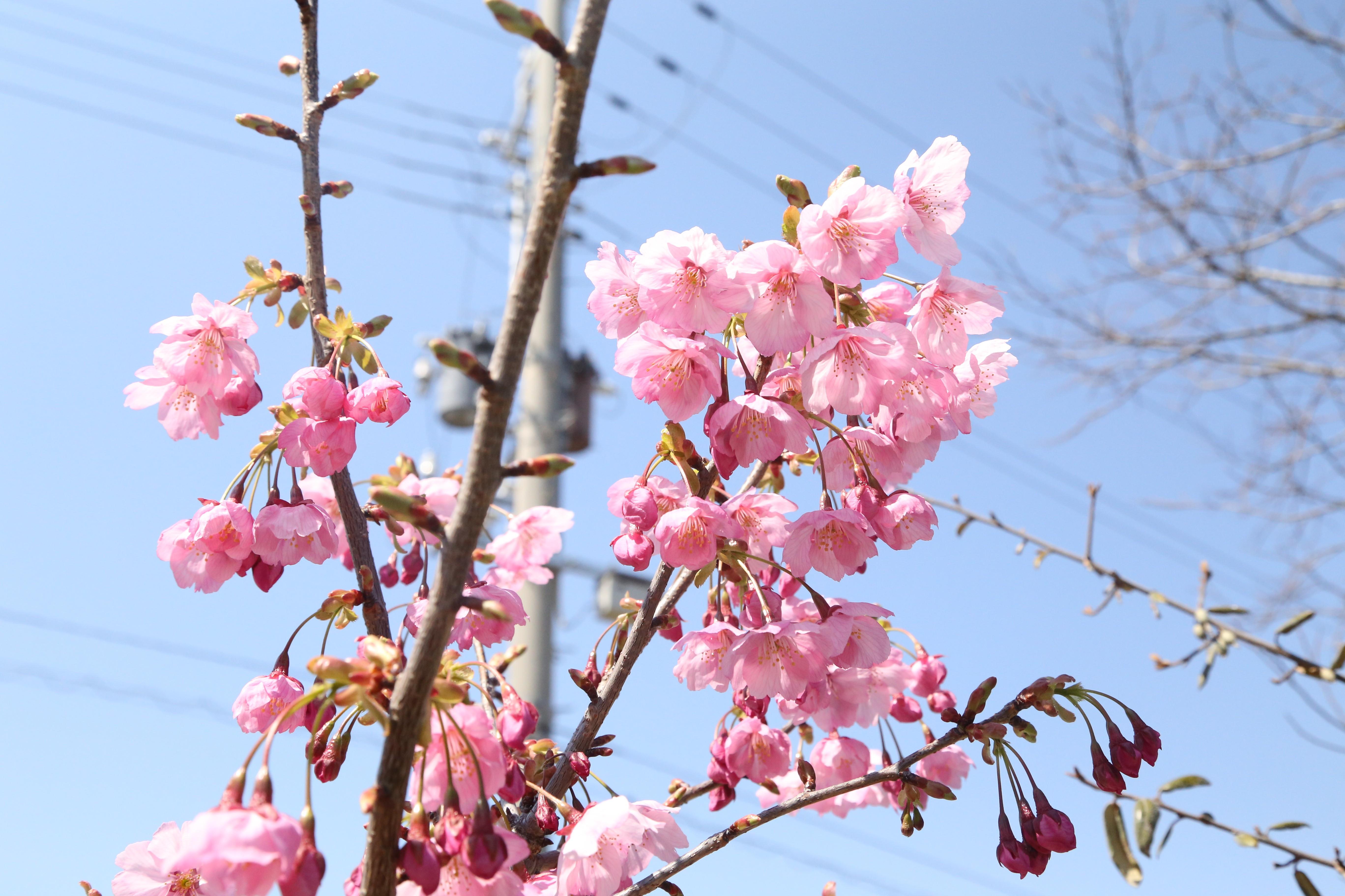 とてもキレイに咲いておりました