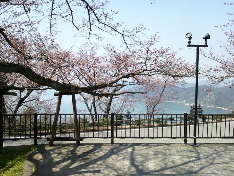 万葉の岬からみた桜
