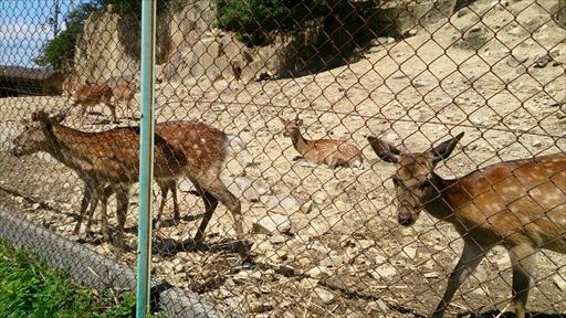 離島で見る鹿はなにか神秘的です